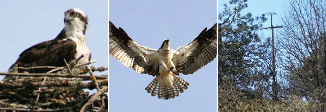 Image of an osprey in a nest, an osprey flying, and a platform where an osprey can build a nest.